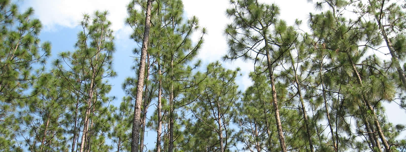 group of longleaf pines